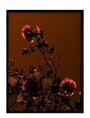 Poster Rose - RED